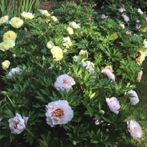 cora-louise-&-bartzella-intersectional-peonies-(1)