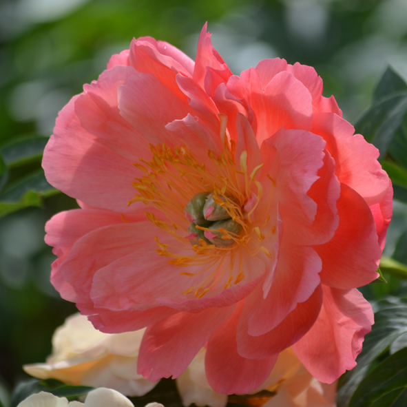Paeonia lactiflora Coral Charm