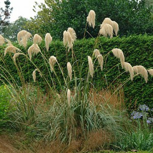 Cortaderia richardii