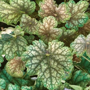 Heuchera Beauty Color
