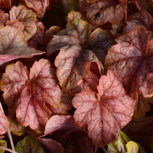 Heucherella Copper Cacade