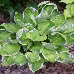 Hosta Captain Adventure