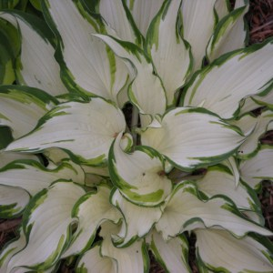 Hosta Dancing In The Rain