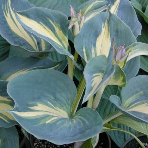 Hosta Dream Weaver