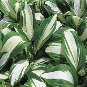 Hosta Enterprise