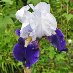 Iris barbata Night Edition