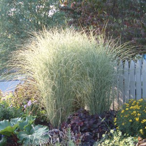 Miscanthus sinensis Morning Lights