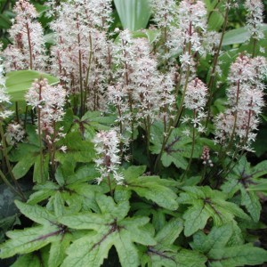 Tiarella Mint Chocolate