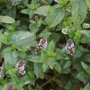Mentha piperita 'After Eight' - Menthe