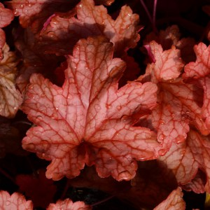Heuchera Ginger Peach