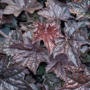 Heuchera Molly Bush