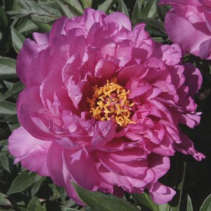Pivoine Itoh - Paeonia First arrival
